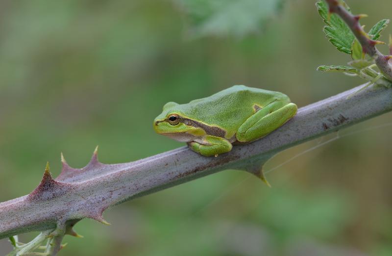Erfreuliche Entwicklung der Amphibien-Bestände in Schaffhausen