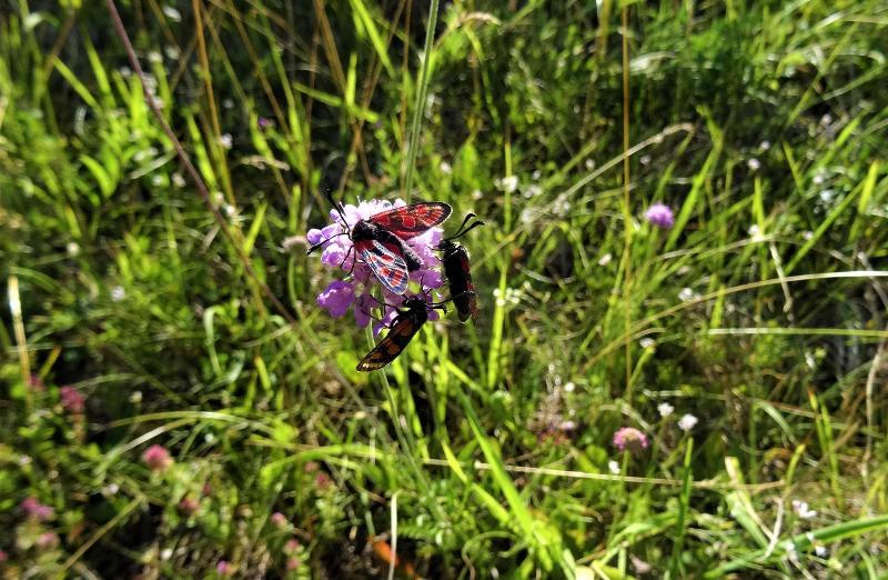 Aktionsplan «Widderchen»: Bestandsübersicht und Fördermassnahmen für gefährdete Schmetterlings-Arten im Kanton Schaffhausen